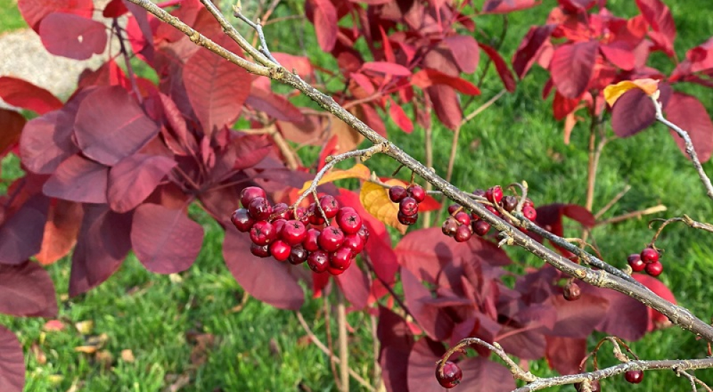 cotoneaster-rehderi-with-cotinus-grace